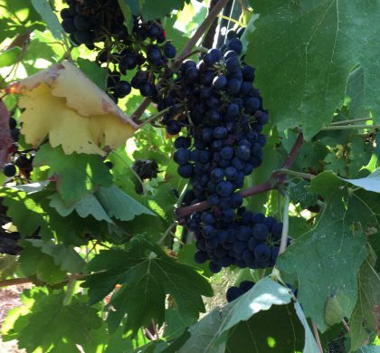 « The Wine Harvest – Wine Tourism Experiences »
