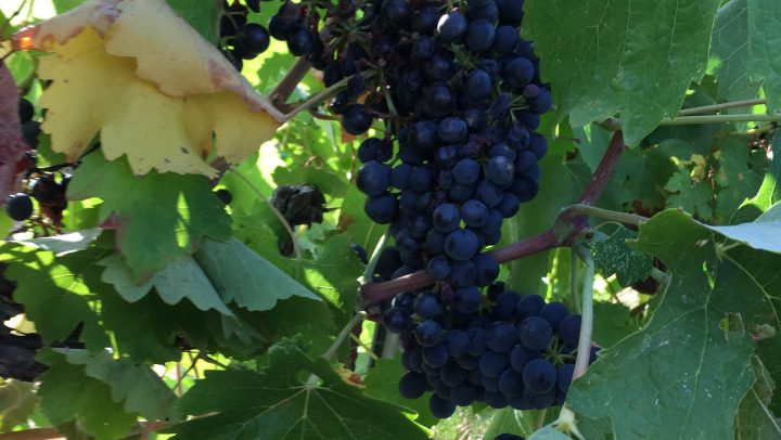 «La Vendimia-Cultura del Vino.- Experiencias enoturísticas».