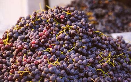 Wine tourism – Wine culture. The grape harvest.